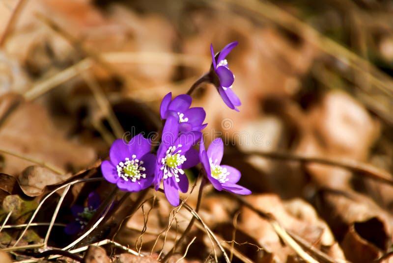 Blauwe anemoon stock foto's