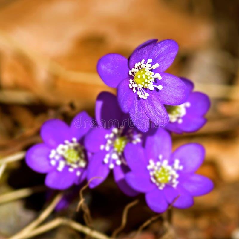 Blauwe anemoon stock afbeeldingen