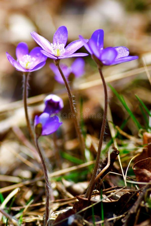 Blauwe anemoon royalty-vrije stock afbeeldingen