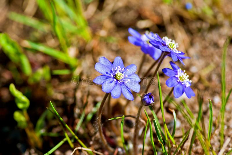 Blauwe anemoon royalty-vrije stock foto