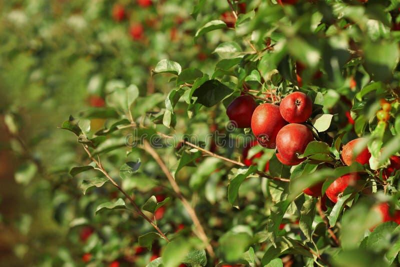 Blauwe appels op zonnige dag royalty-vrije stock foto's