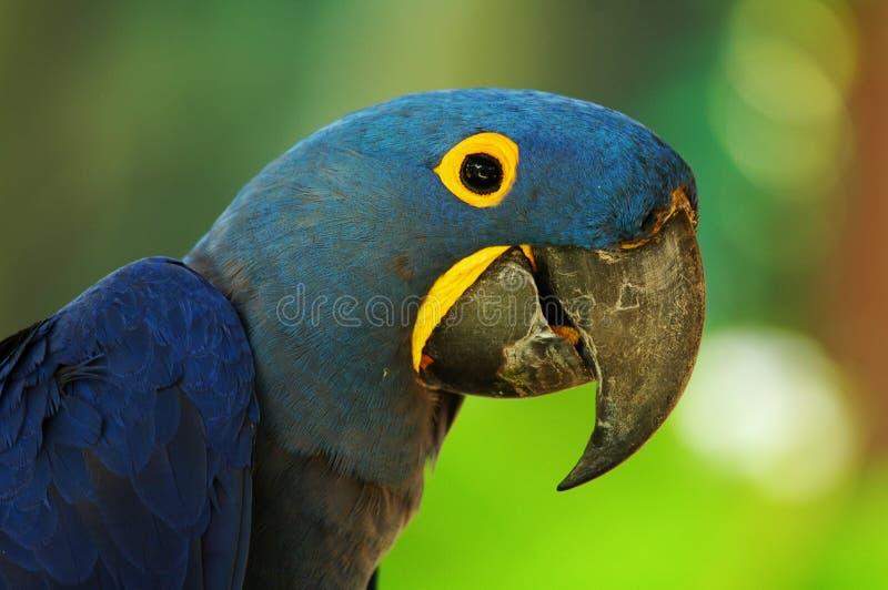 Blauwe Ara stock fotografie