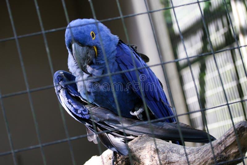 Blauwe arara alleen in kooi stock afbeeldingen