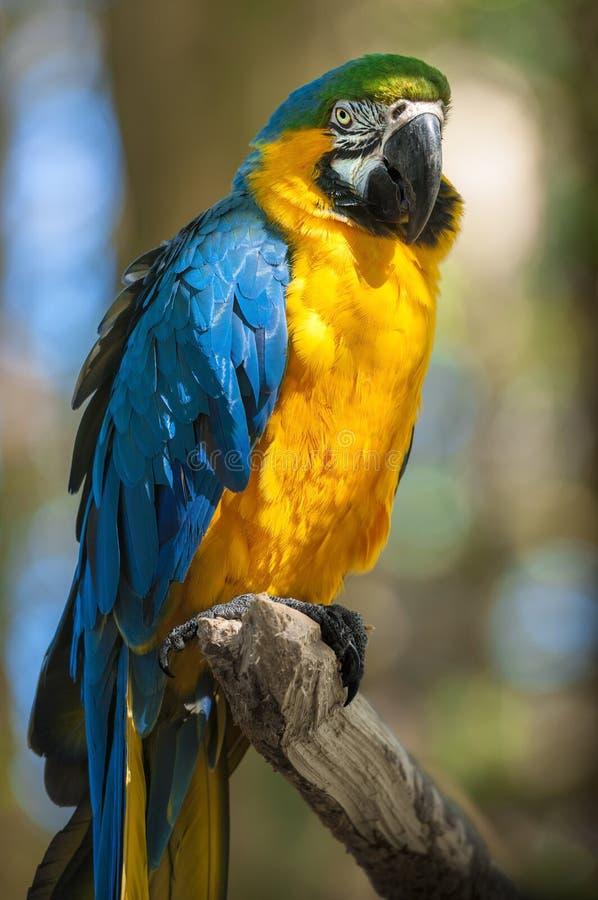 Blauwe Arara; Braziliaanse vogel royalty-vrije stock afbeeldingen