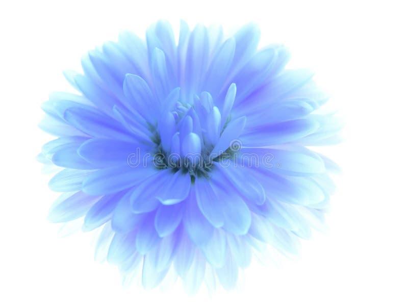 Blauwe aster royalty-vrije stock afbeeldingen