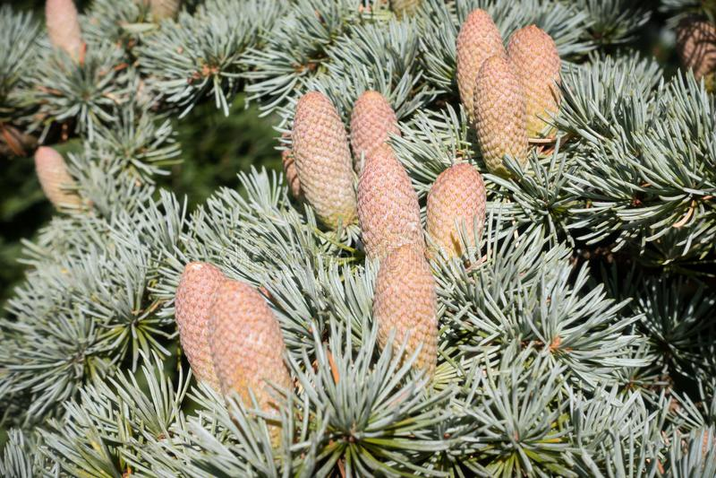 Blauwe Atlas Cedar Conifer met Kegels royalty-vrije stock fotografie