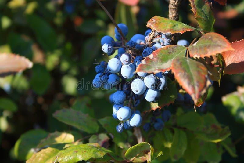 Blauwe bessen op struik met groene en rode bladeren onder sunlights De druif van Oregon stock foto