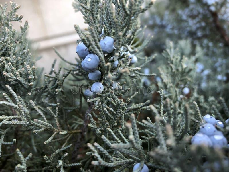 blauwe bessen van Rood Cedar Tree royalty-vrije stock afbeelding