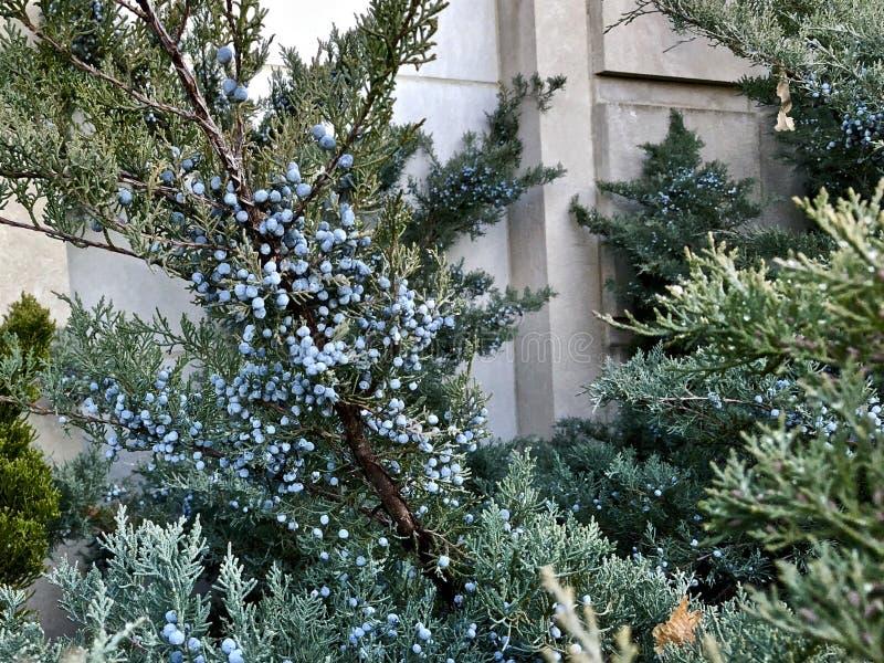 blauwe bessen van Rood Cedar Tree stock afbeeldingen