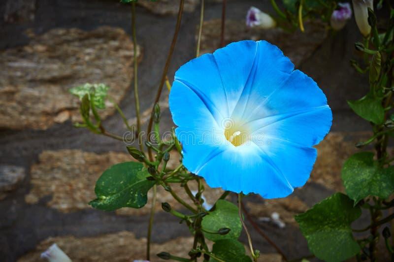 Blauwe bloeibloem in aard stock foto