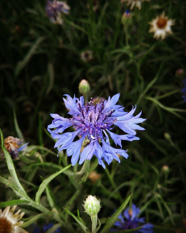 Blauwe Bloem stock foto