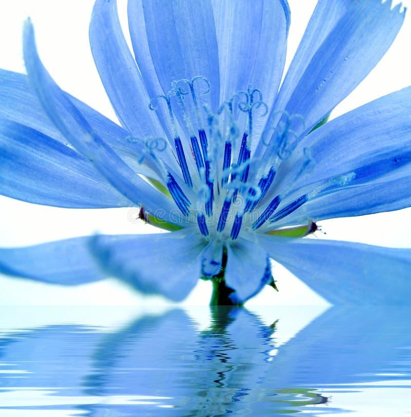Blauwe bloem die in water wordt weerspiegeld stock afbeeldingen
