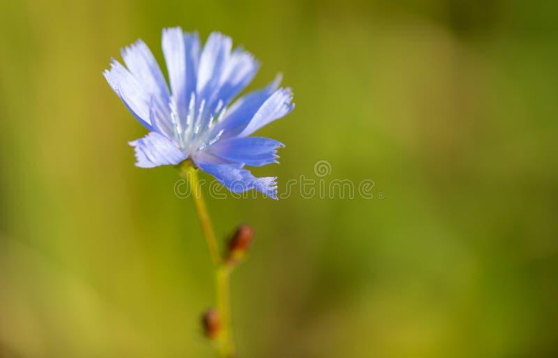 Blauwe bloem in het park royalty-vrije stock foto's
