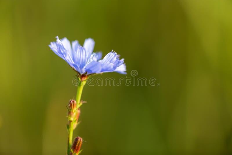 Blauwe bloem in het park stock foto's
