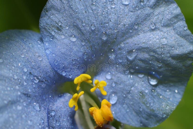 Blauwe bloem met waterdruppeltjes stock foto's