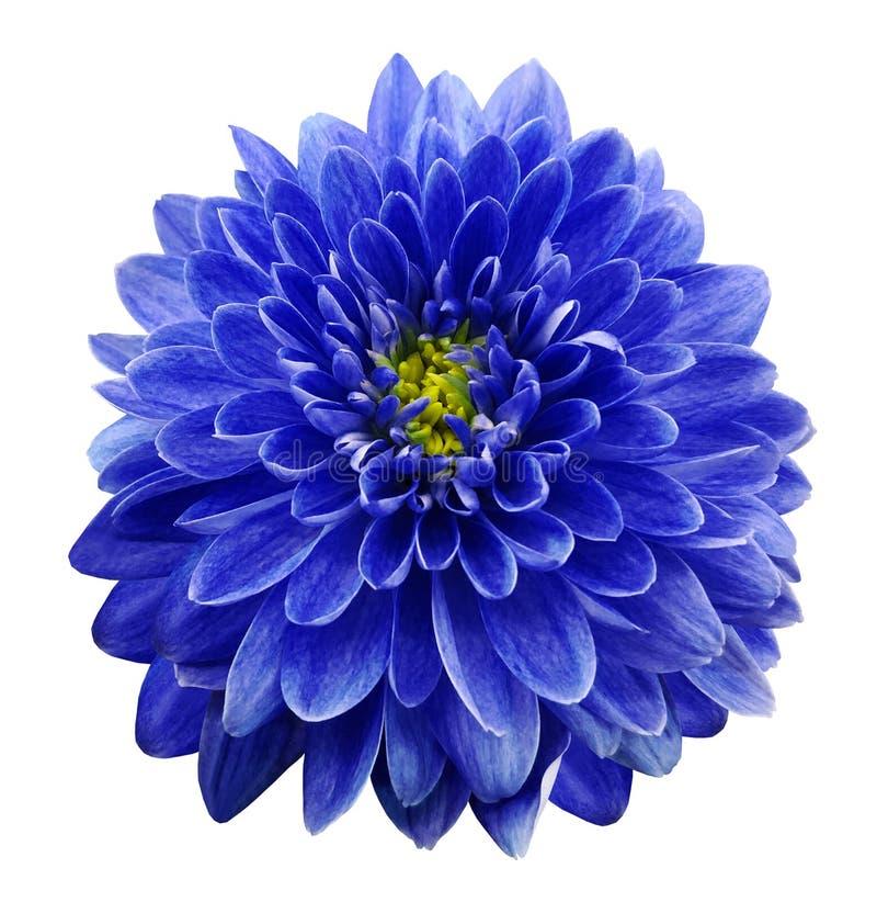 Blauwe bloemchrysant op wit geïsoleerde achtergrond met het knippen van weg close-up Geen schaduwen stock foto