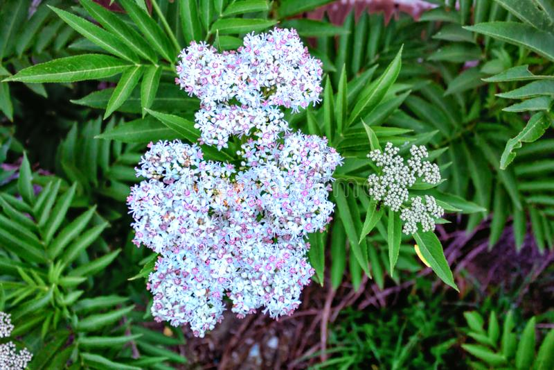 Blauwe bloemen in de tuin stock afbeelding