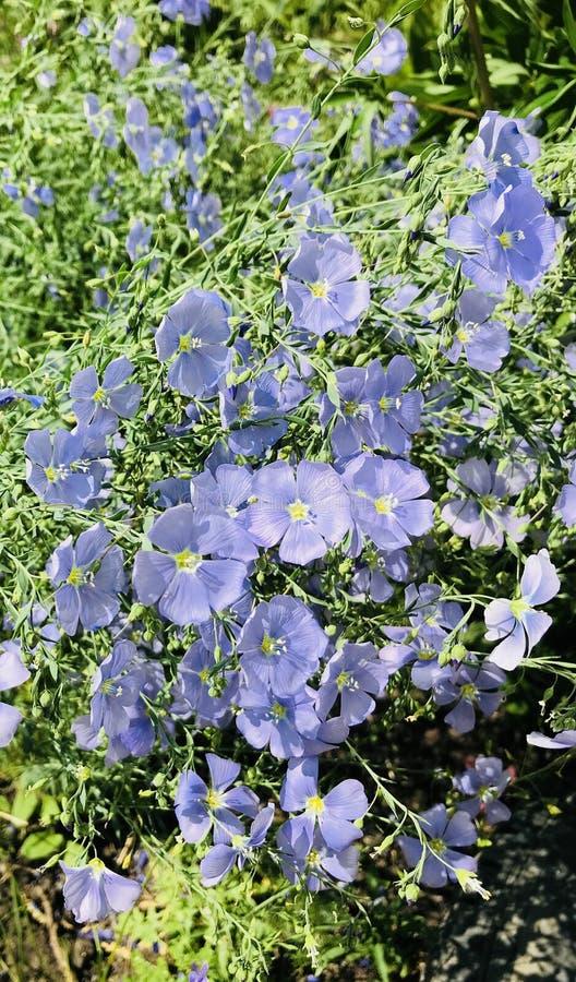 Blauwe bloemen op een achtergrond van groen gras royalty-vrije stock foto