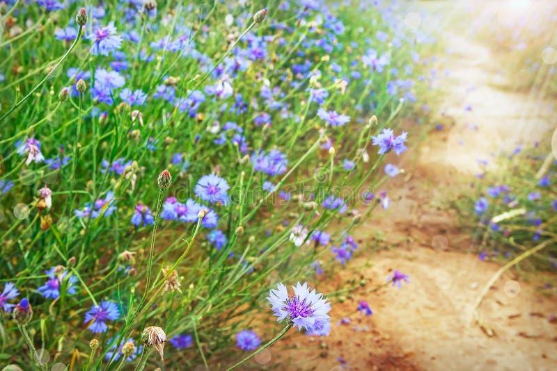 Blauwe bloemen op groene weide in de zomer dichtbij weg stock foto's