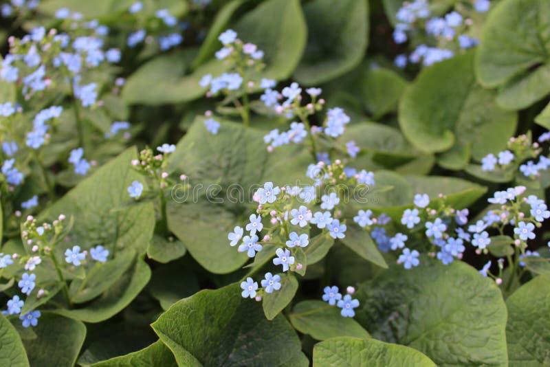 Blauwe bloemen vergeten-me-in de zomer stock afbeeldingen