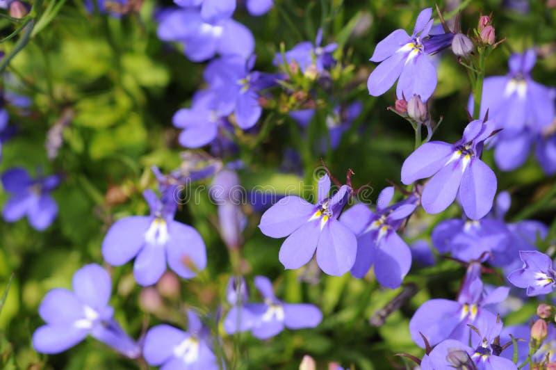 Blauwe bloemenachtergrond (lobelia) stock fotografie