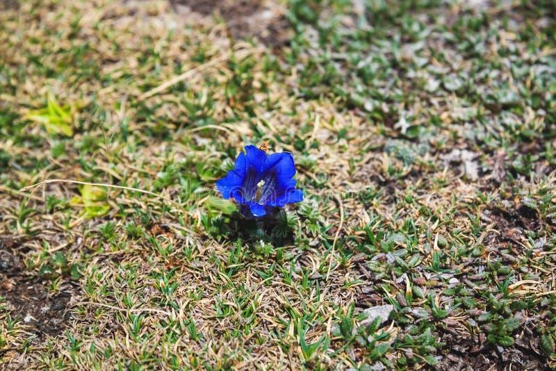 Blauwe bloemgentiaan die in Alpen, Krippenstein, Oostenrijk tot bloei komen royalty-vrije stock foto's