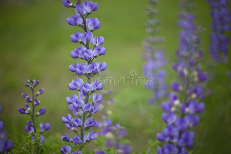 Blauwe bonnetten wildflower royalty-vrije stock afbeelding