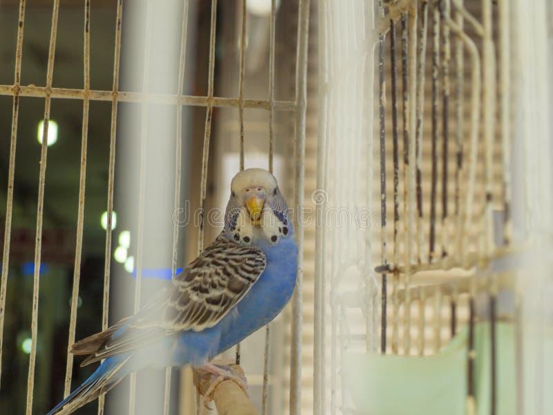 Blauwe budgievogel in een kooi die door kooistaarten verschijnt stock foto