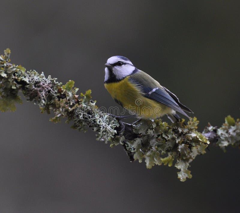 Blauwe caeruleus van meesparus zit op aardige korstmostak stock fotografie