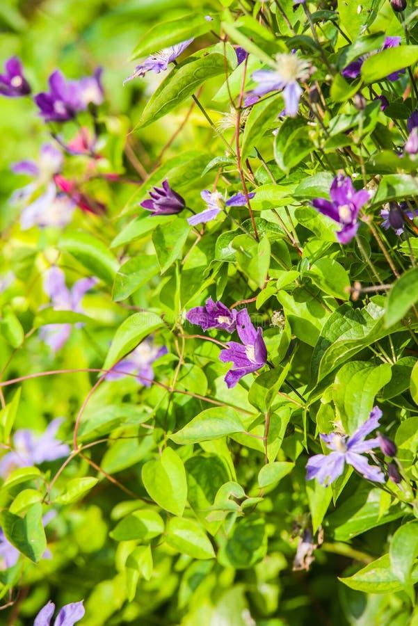 blauwe Clematissen Arabella stock foto's