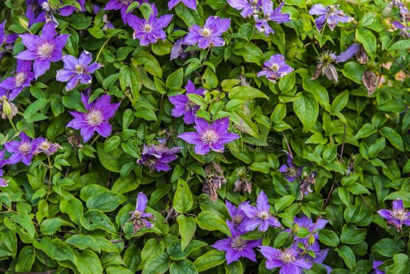 blauwe Clematissen Arabella stock fotografie