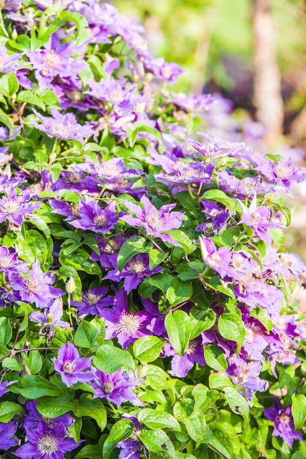 blauwe Clematissen Arabella royalty-vrije stock afbeeldingen