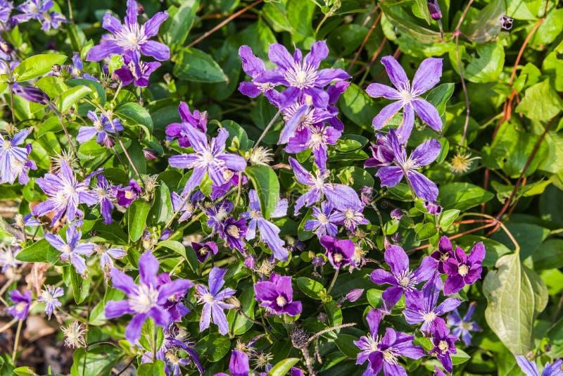 blauwe Clematissen Arabella stock afbeeldingen