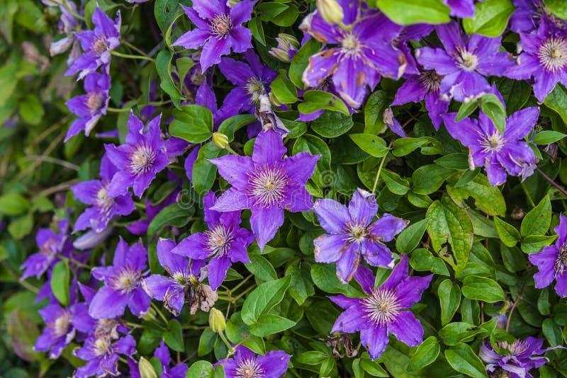 blauwe Clematissen Arabella royalty-vrije stock foto