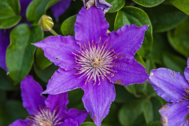 blauwe Clematissen Arabella stock afbeelding
