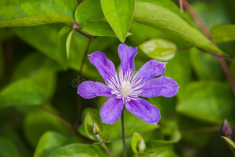 blauwe Clematissen Arabella royalty-vrije stock afbeelding
