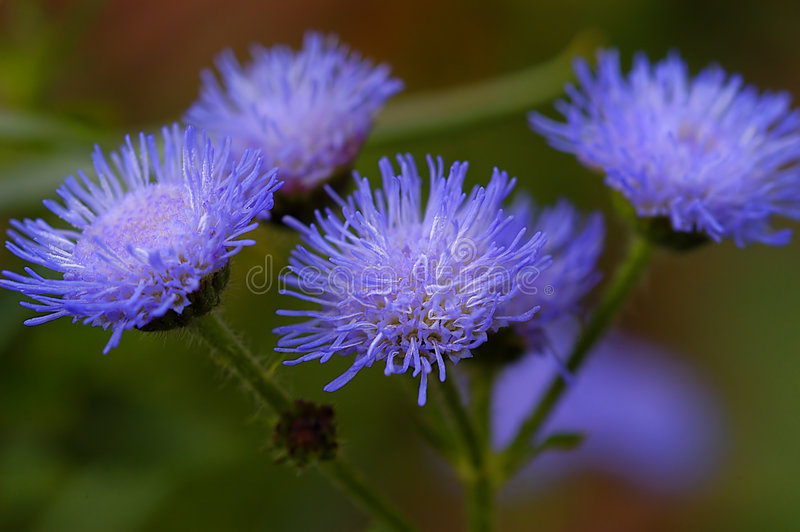 Blauwe coneflower stock afbeelding