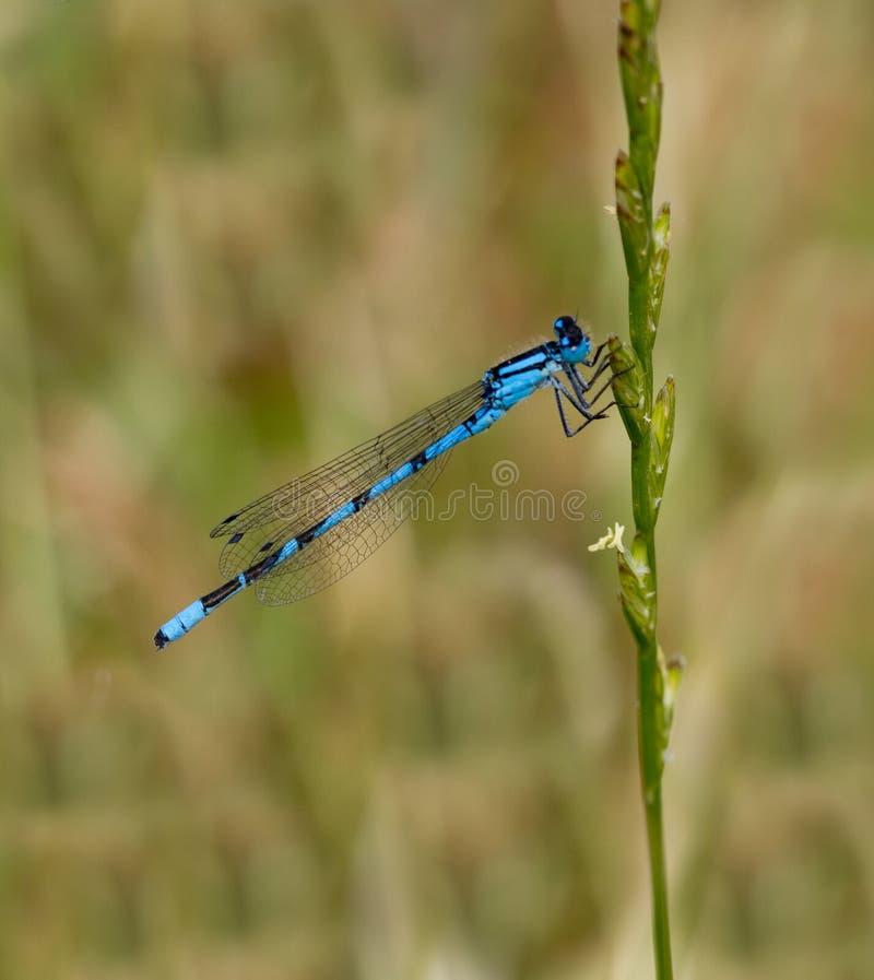 Blauwe damselfly stock afbeelding
