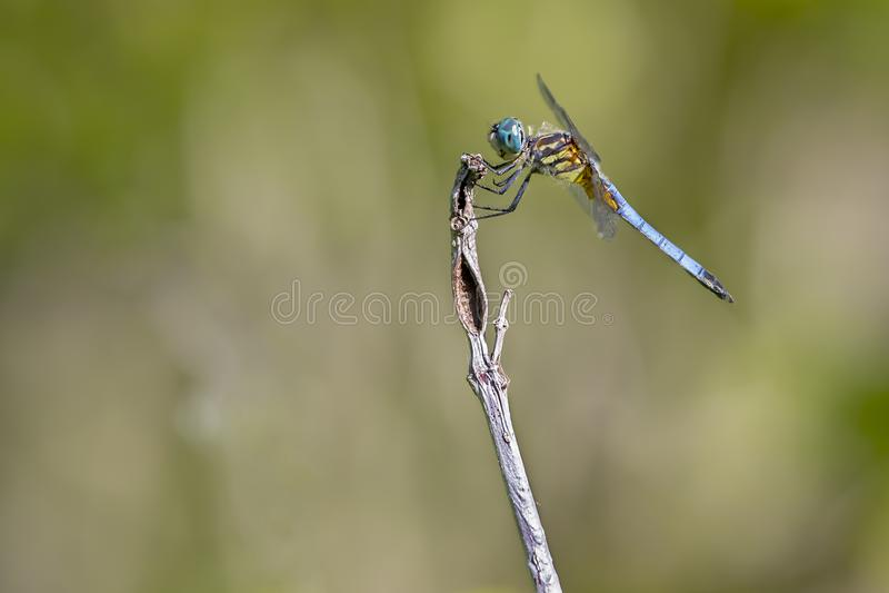 Blauwe Dasher stock afbeeldingen