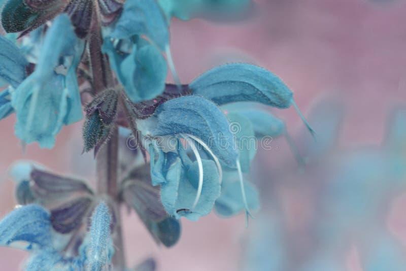 Blauwe de Bloesemmacro van de de Lentebloem stock foto's