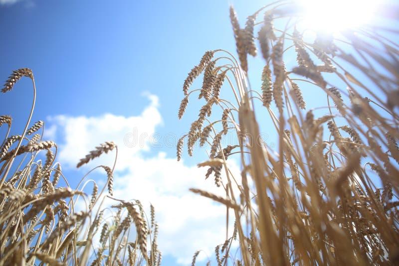 Blauwe de hemelwolken van de aren rijpe gouden tarwe royalty-vrije stock fotografie