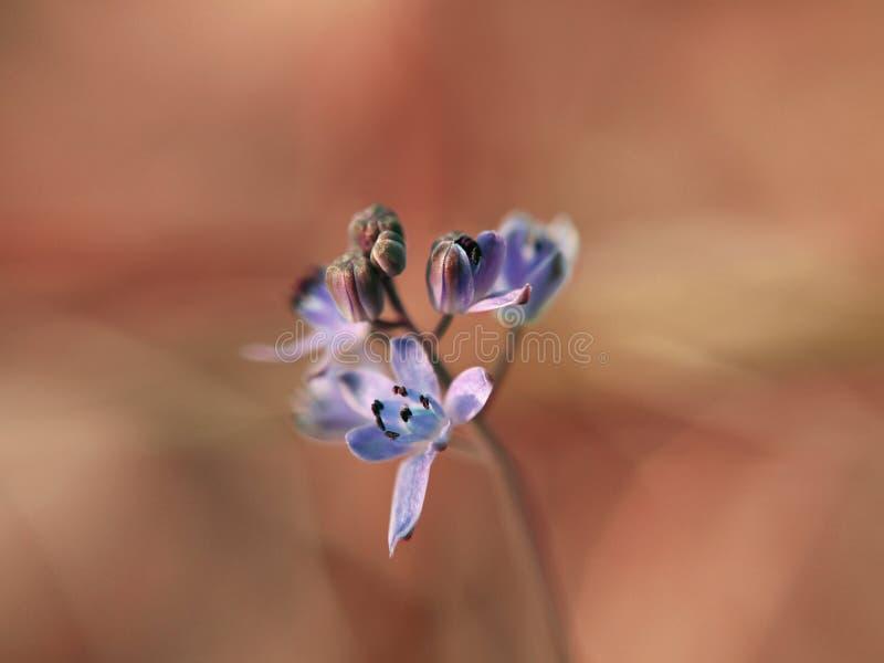 Blauwe de lentebloem royalty-vrije stock fotografie