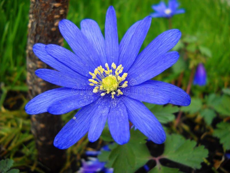 Blauwe de lentebloem Anemona royalty-vrije stock foto