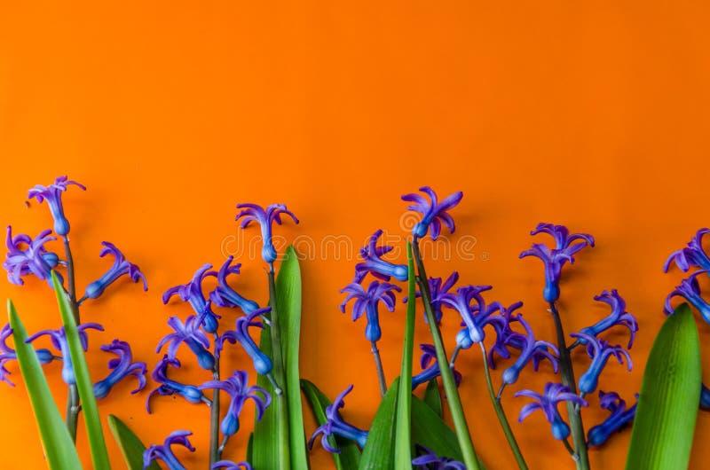 Blauwe de lentebloemen met groene bladeren op een oranje achtergrond stock foto's