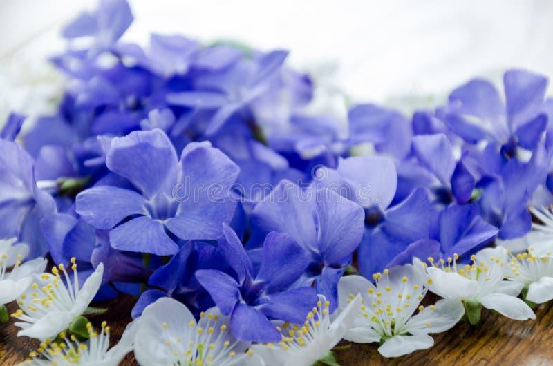 Blauwe de lentebloemen met groene bladeren op een oranje achtergrond stock afbeeldingen