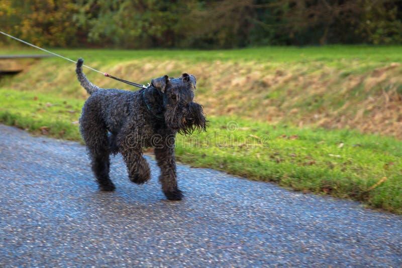 Blauwe de terriërgangen van Kerry van de huisdierenhond in het park royalty-vrije stock foto