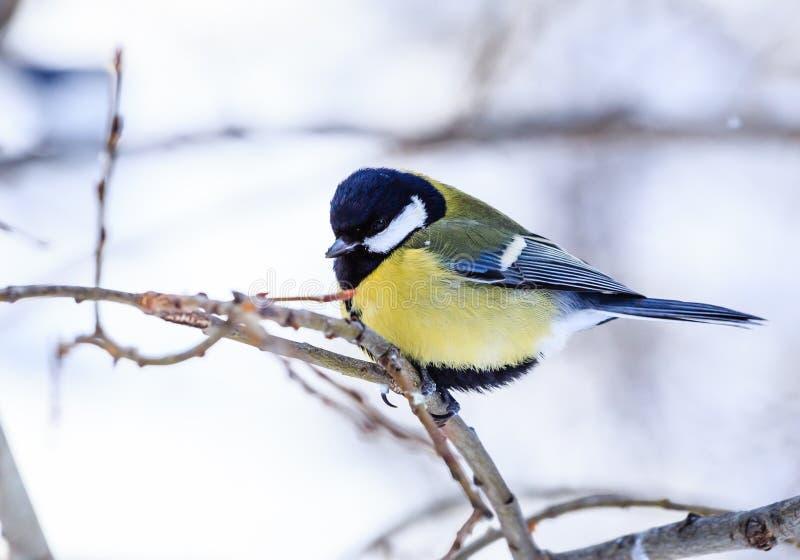 Blauwe die caeruleus van meesparus op een ijzige boom wordt neergestreken royalty-vrije stock afbeeldingen
