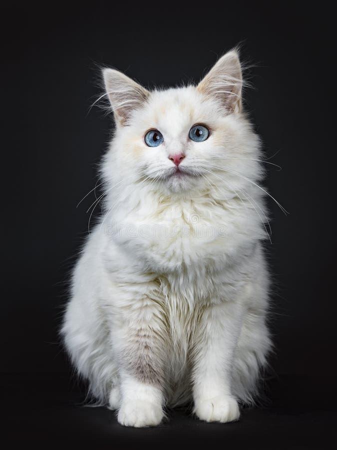 Blauwe die eyed van het ragdollkat/katje zitting op zwarte achtergrond wordt geïsoleerd die de lens bekijken royalty-vrije stock afbeeldingen