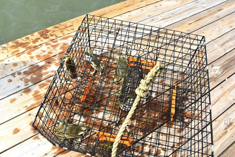 Blauwe die krabben in een krabpot worden gevangen op de Chesapeake Baai in Virginia stock afbeelding
