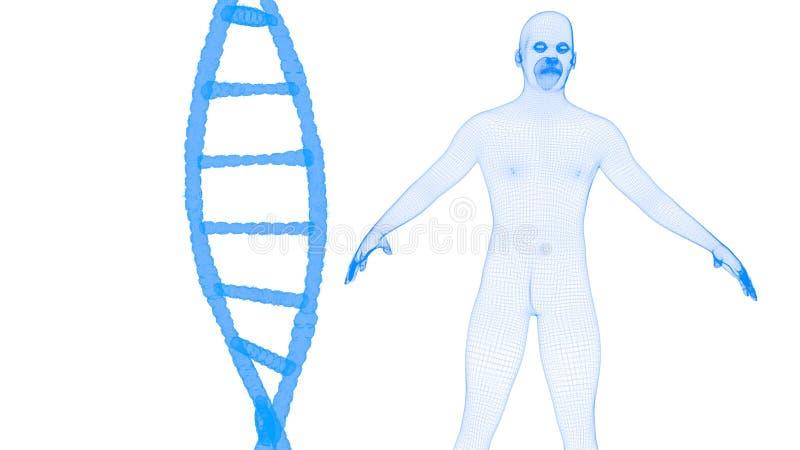 Blauwe DNA en menselijk wireframehologram stock illustratie